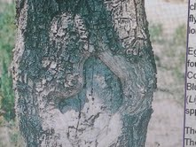 image depicting a wound in a tree caused by Ash Borer