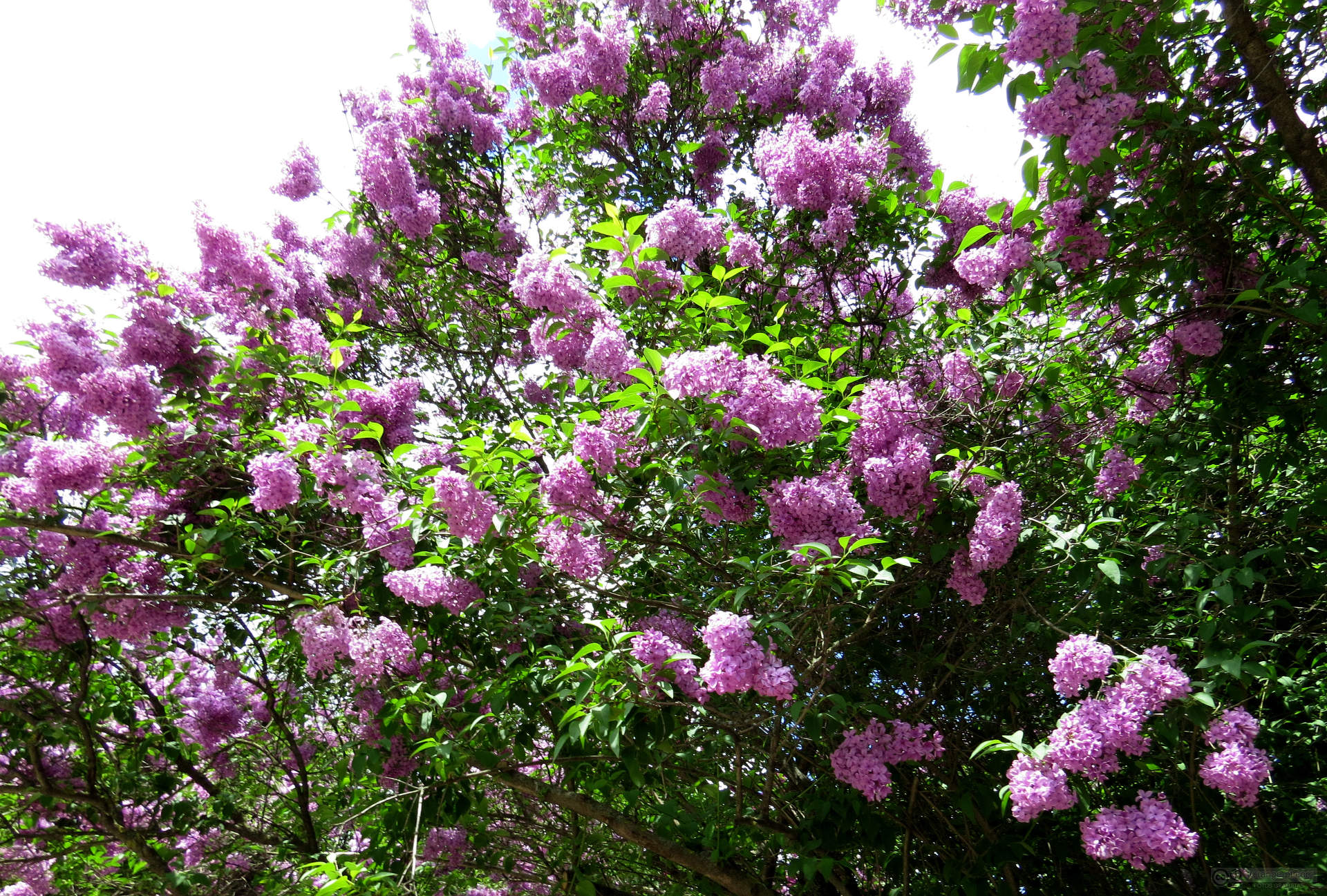 image of lilac bushes in garden