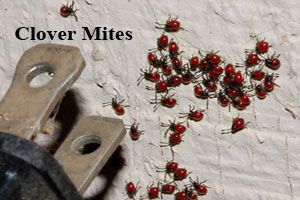 image of clover mites inside building with electrical plug for scale